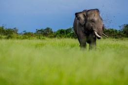 human wildlife conflict, Elephant, sumatran elephant, earth day, extinction, bioenergy, peatlands, Sumatra, elephant education center