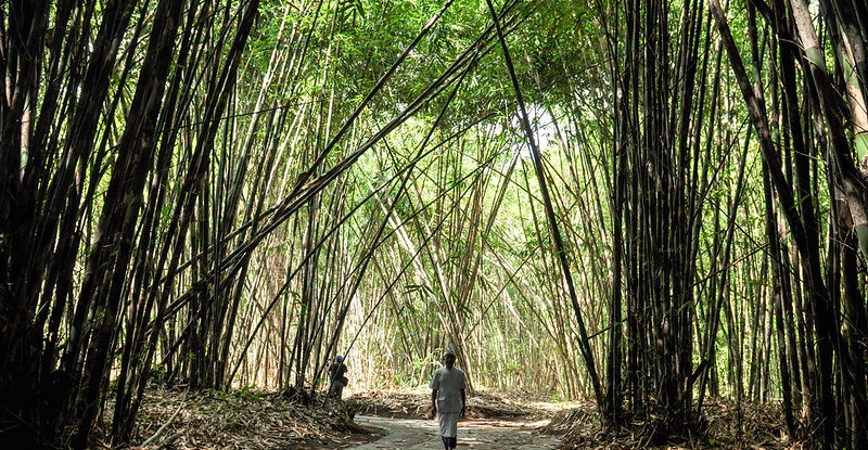 What Bamboo Forests Do For Nature And Human Well Being Cifor