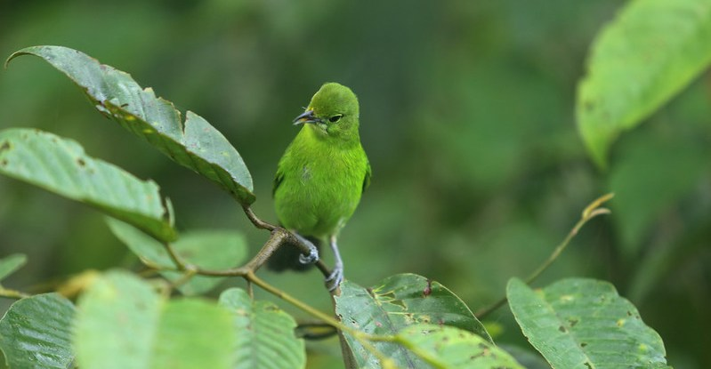 A small green bird perches on a leafy branch. The bird and the leaves are the same color.