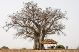 Animals stand by a shelter under a baobab tree