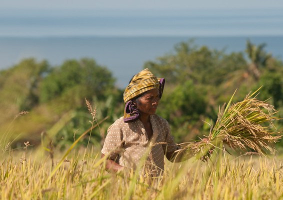 A farmer gathers rice in a field
