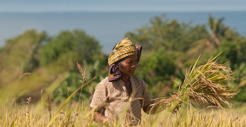 A farmer gathers rice in a field