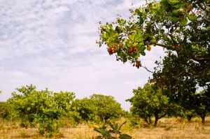 Cashew tree in Burkina Faso. Photo: Ollivier Girard/CIFOR