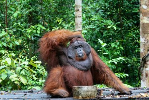 Orangutan in Tanjung Puting National Park, Kalimantan, Indonesia. Tropical forests are key for the protection of biological diversity. Photo: Terry Sunderland/CIFOR