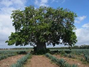 Baobab in sisal plantation in Kenya. Photo: Katja Kehlenbeck/ICRAF