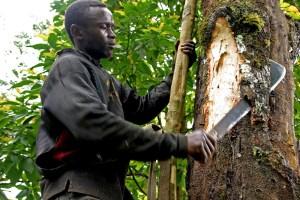 Cutting prunus africana bark. Photo: Verina Ingram/CIFOR