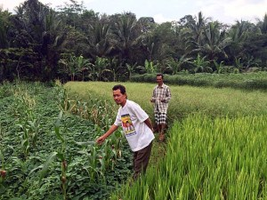 A farmer in Cidanau Watershed, Indonesia in his mixed rice-and-tree agroforestry system. Photo: World Agroforestry Centre/Technical University of Cologne/Lina Tennhardt