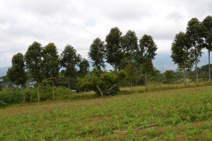 Trees as windbreaks on a farm in Lantapan, Philippines. World Agroforestry Centre/Andy Ortega
