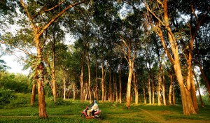 Teak forest plantation, Jepara, Central Java - Indonesia. Photo: Center For International Forestry Research/Murdani Usman