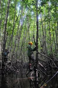 A researcher measures the diameter of mangrove trees in Kubu Raya, West Kalimantan, Indonesia. Photo: Kate Evans