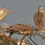 Spot-billed_Pelican_(Pelecanus_philippensis)-_Adult_with_Immatures_at_nest_in_Garapadu,_AP_W_IMG_5283