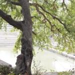 tree-and-tank-img_6534-41