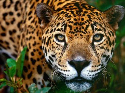 spirit animal jaguar