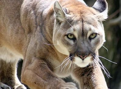 Mountain Lion/Cougar: ego-free, uses power wisely, gaining self confidence, freedom of guilt.