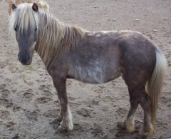 mini-horse-2