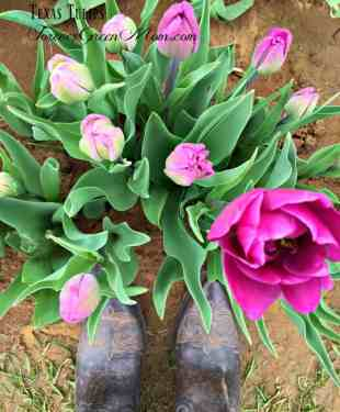 Visit Texas Tulips for Awesome Photography