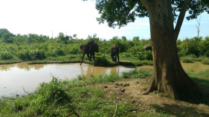 elephants-sri lanka-safari-national park