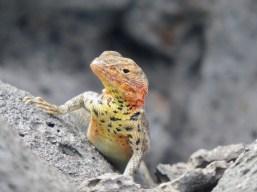 lizard-galapagos