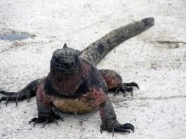 marine-iguana-