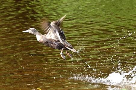 Mother duck flies off over the weir.