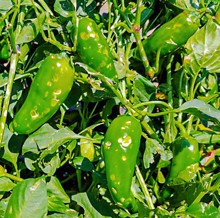 Members of the ICC family at the El Oasis Children's Village in Mexico were still able to sell these damaged peppers at a lower price.