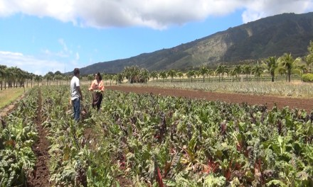 Fork & Salad Connects with Kumu Farms on MauiNow.com!