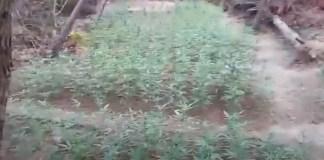 Αν-Αττική:-Εντοπίστηκε-φυτεία-με-1.925-δενδρύλλια-κάνναβης!-(βίντεο)