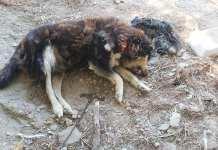 Δασκαλειό-Αττικής:-Σκύλος-νεκρός-–-αλυσοδεμένος-χωρίς-νερό-και-τροφή-μέσα-σε-ιδιωτική-έκταση