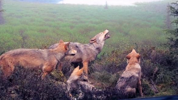 wolf howl Algonquin Centre s