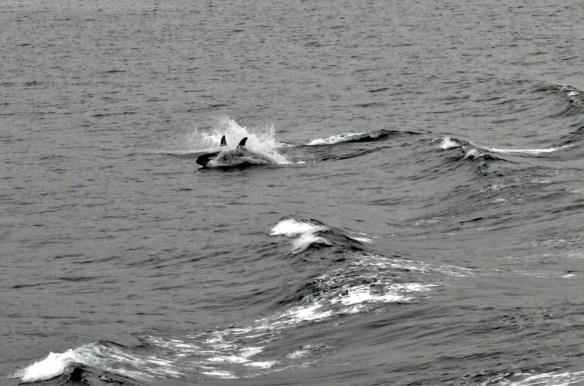 orcas playing in wake Alaska