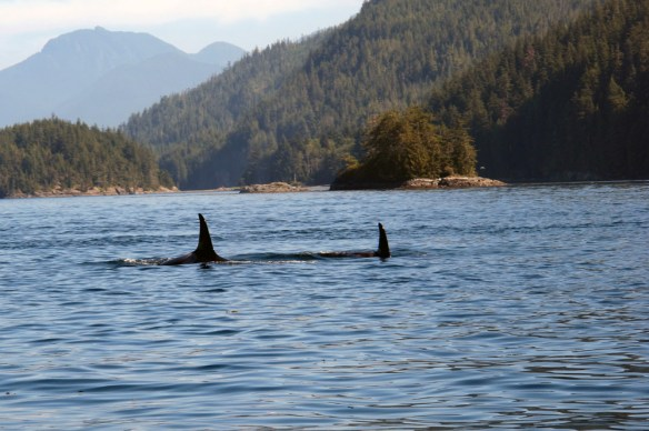 orca beside the boat
