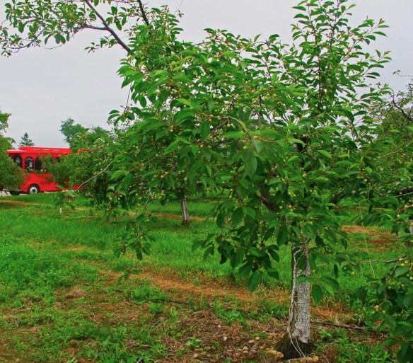 Door County Fish Boil cherr tree