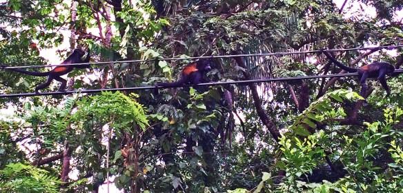 howler monkeys 6 per cent of the world's biodiversity