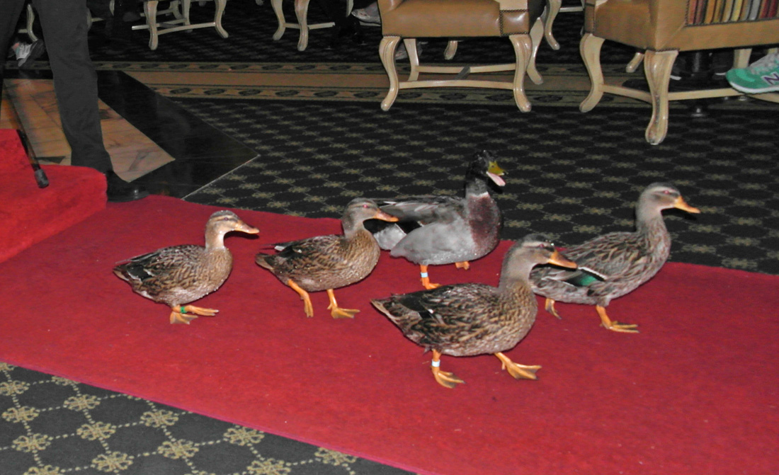 Life is Ducky at the Peabody in Memphis