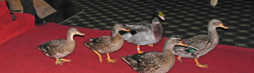Peabody Ducks - L:ife is Ducky at the Peabody in Memphis - ducks on the red carpet