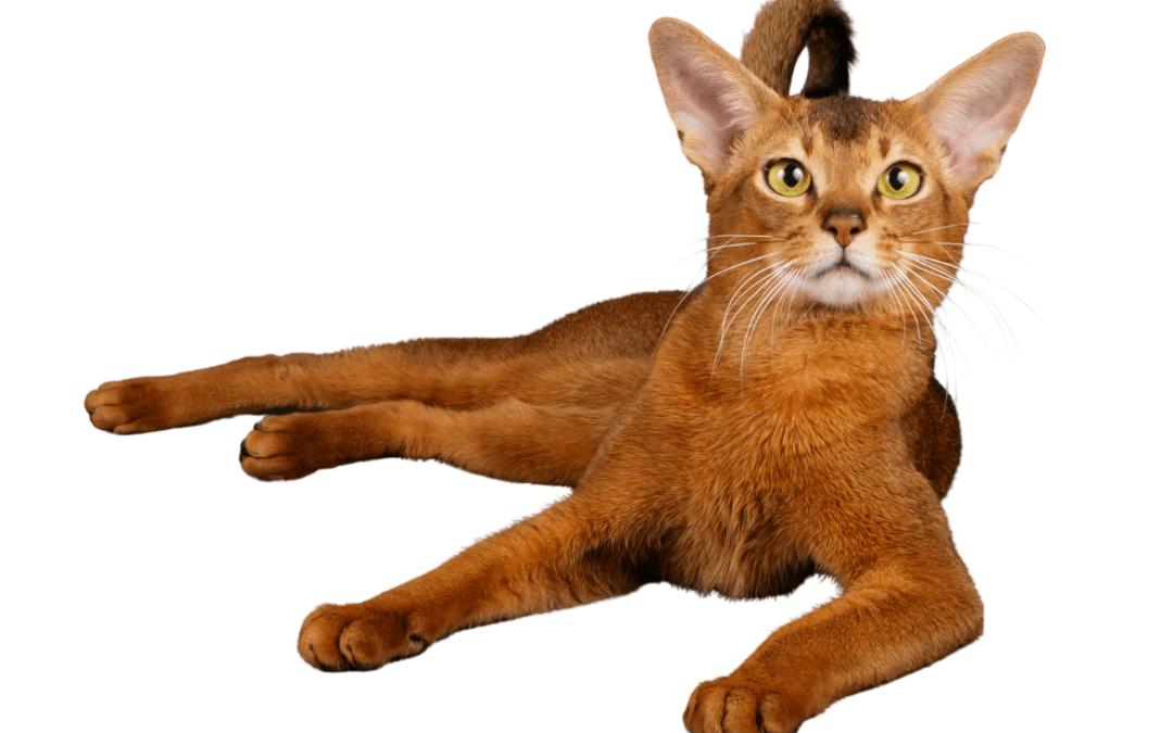 Gato Abisinio: guía completa para amantes de la raza.