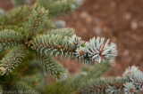 Picea pungens 'Thomsen' (close up)