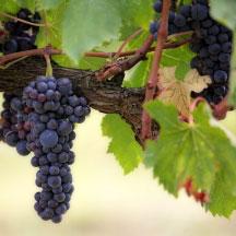 vitivinicolo agricoltura