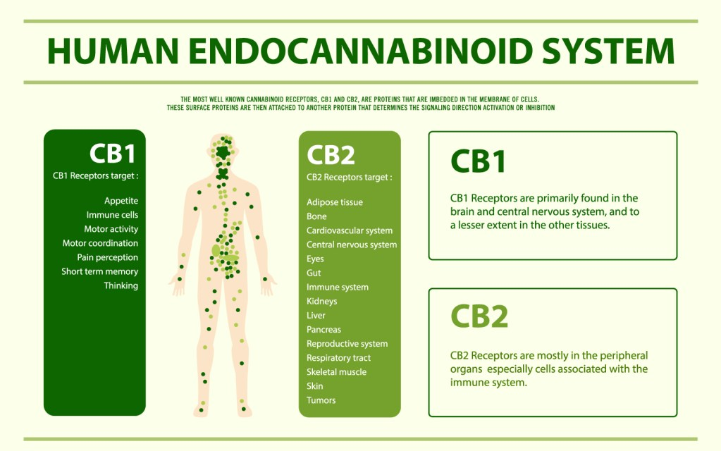 What Is the Endocannabinoid System (ECS)