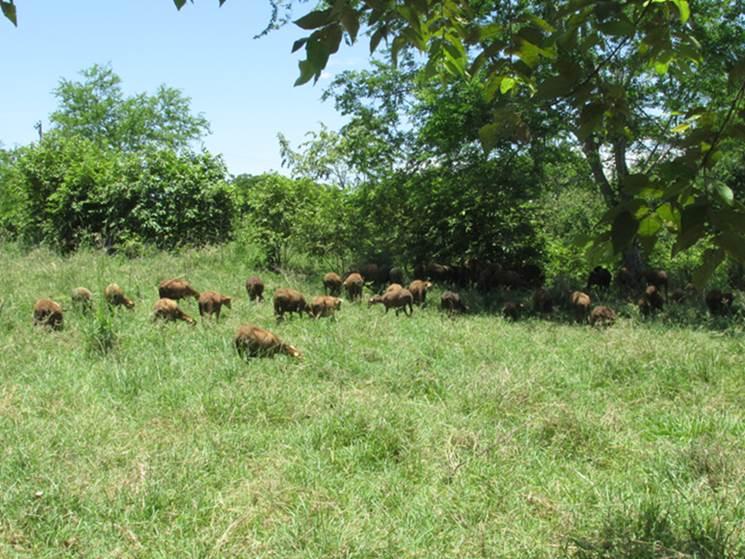 Sistema silvopastoril ovino en Colombia