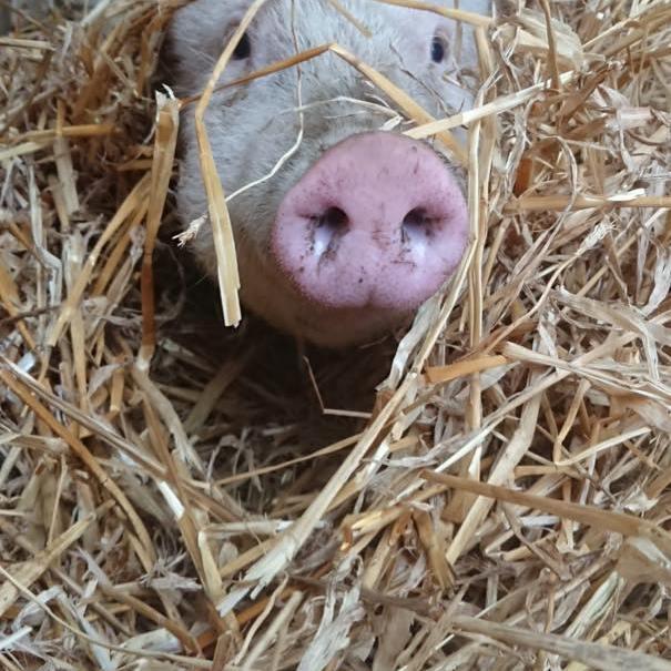 Pippa in het stro