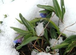 Mertensia fusiformis in snow