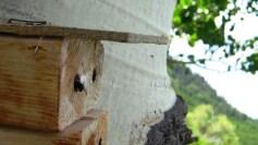 Osmia at trap-nest entrance