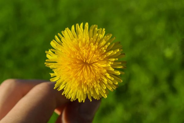 6 Things To Know About Using Dandelion Root