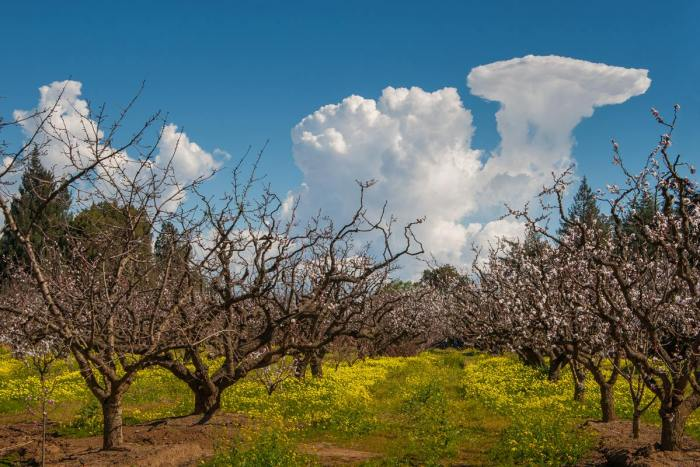 apricot orchard blossoms