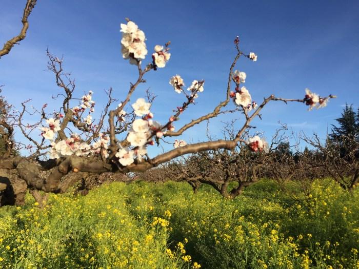 Novakovich apricot blooms
