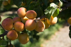 Ripe Apricots, Fairhaven Orchards