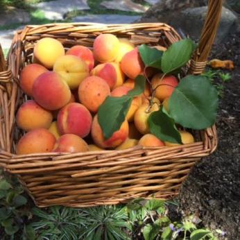 Fresh Blenheim apricot basket