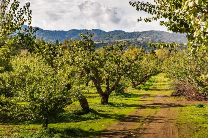 Saratoga Hills through the orchard
