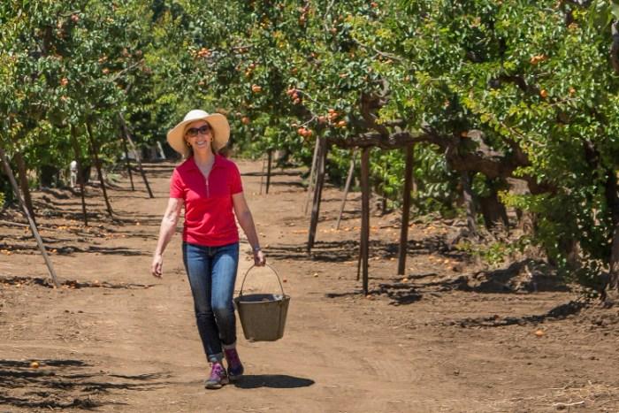 Apricot Harvest, Photo by Eric Larson